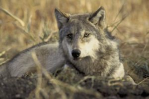 Wolf Facts: What you should know in Michigan's U.P.