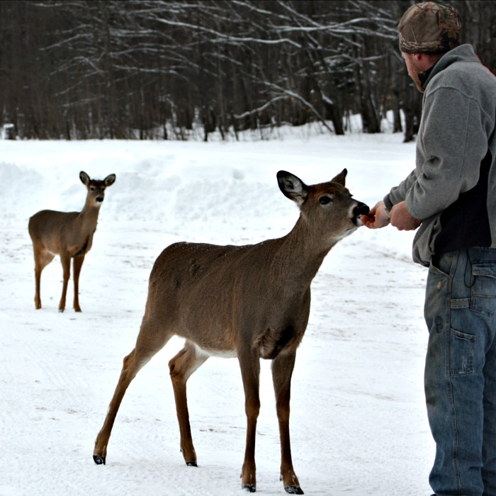 A Northern Michigan Winter with whitetail deer